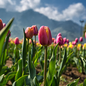 Tall tulips by Ajay Sood - Nature Up Close Gardens & Produce ( pwcflowergarden, ajay, sood, kashmir, pink, travelure, tulips, travel, flowers )