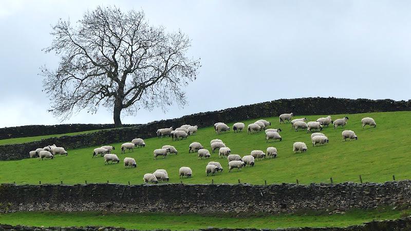 Pecore controvento di silviola