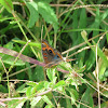 Mangrove buckeye