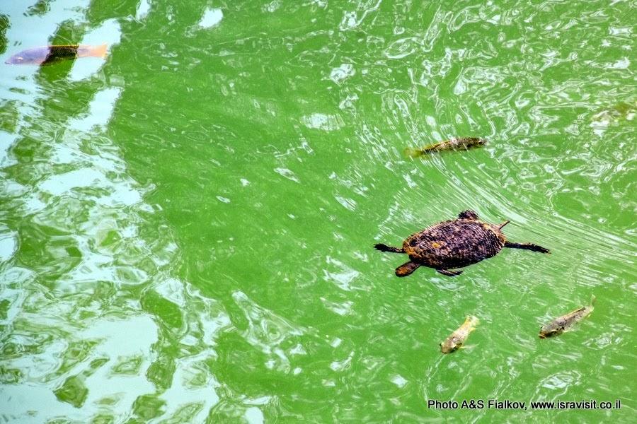 Черепаха и рыбы в водах Ярдонита. На экскурсии в Израиле.