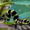 Tinoleus moth Caterpillar