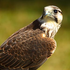 The eye of the falcon.jpg