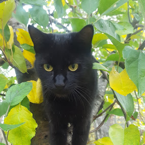 Olive by Colleen Flynn - Animals - Cats Portraits ( cat, cat in leaves, farm cat, yellow eyes, cat in tree, black cat,  )