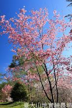 Photo: 拍攝地點: 梅峰-梅楓園 拍攝植物:櫻(富士櫻) 拍攝日期:2013_02_15_FY