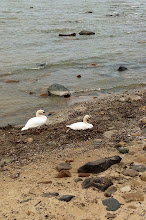 Photo: Swans resting near Port Austin