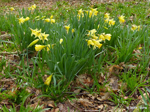 Photo: The daffodils are coming thick and fast