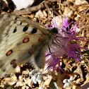Parnassius apollo ssp. siciliae