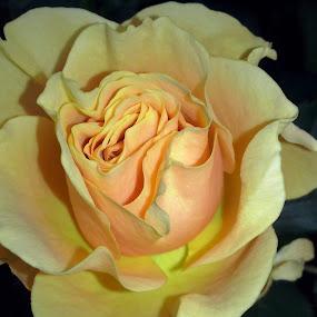 by Corali Reciful - Flowers Single Flower