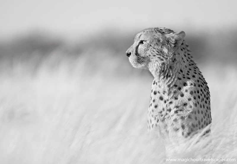 """Photo: """"The Proud Cheetah""""  Trying something a bit different, a high key conversion of a favourite shot from Namibia."""