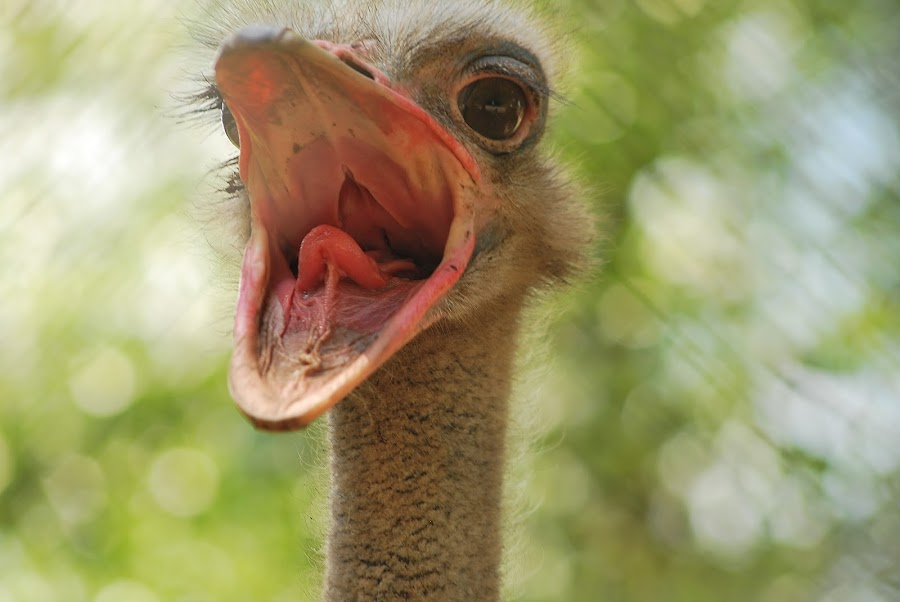 ostrich by Jade Bracke - Animals Birds ( bird, open, ostrich, mouth, animal,  )