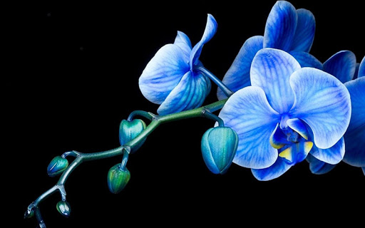 Orchid Pack 3 Live Wallpaper