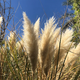 Pampas Grass by Diane Garcia - Instagram & Mobile iPhone ( outside grass sky blue )