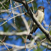 Eastern wood- pewee
