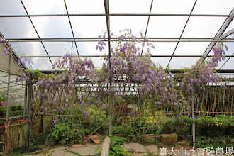 Photo: 拍攝地點: 梅峰-溫帶花卉區 拍攝植物: 紫藤 拍攝日期: 2014_04_16_FY