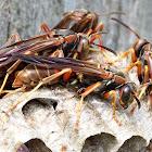 Northern Paper Wasp (Nest)
