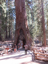 Photo: Also iconic are the giant sequoias.