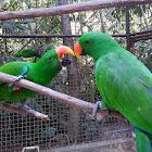 Eclectus Parrots, Males