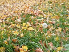 Photo: On my way to work this afternoon on a very foggy gray day. The leaves shone in such bright yellow, it put a smile on my face nonetheless. And then I saw it! The last still standing dandelion ready to send it's seeds out with the next strong wind. Hoping they will find a good place to wait over Winter to start a new plant in Spring and warmer weather.  Summer, Autumn and Spring all in one photo.  #dandelionpoker +Dru Stefan Stone #leavesonthursday +Leaves On Thursdaycurated by +Ray Bilcliff+Marilou Aballe #hqspautumnshots curated by +HQSP Autumn Shots+Delcour Eric+Carina Marsh