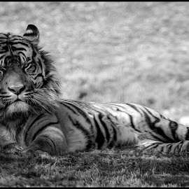Tiger by Dave Lipchen - Black & White Animals ( tiger )