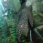 Suchermouth Catfish