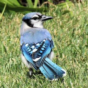 Blue jay 3 by Terry Saxby - Animals Birds ( bird, canada, blue, terry, ontario, batawa, jay, nancy, saxby,  )