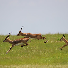Black bucks on the run  by Anjani Kumar - Animals Other Mammals ( animals, kurnool, action shot, anjani, blackbucks )