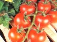 EASING THE ACIDITY OF TOMATOES: Some people are unable to eat spaghetti sauce and other...
