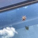 Cob Web Spider