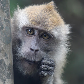by Alex Chia - Novices Only Wildlife ( nature, curiosity, emotions, wildlife, monkey )