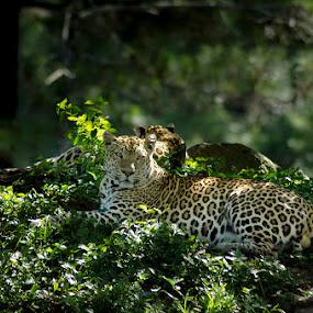 Panthera Pardus by Alfon Adalah Klepon - Animals Lions, Tigers & Big Cats ( noon, indonesia, rest, leopard, panthera pardus,  )