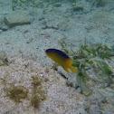 Collin's angelfish