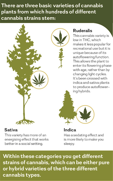 The hundreds of different cannabis strains stem from three basic varieties.