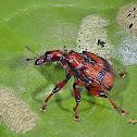 Leaf Roller Weevil Beetle