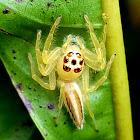 Jolly telamonia spider