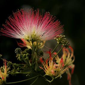 Albizia by Dana Corina Popescu - Nature Up Close Flowers - 2011-2013