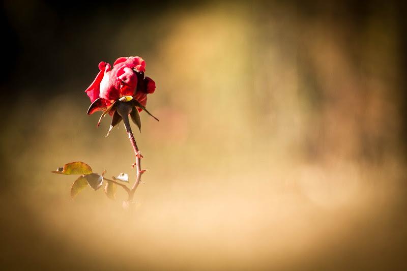 Rosa sola di Fabrizio Mariotti