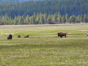 Photo: Bisons in the distance!