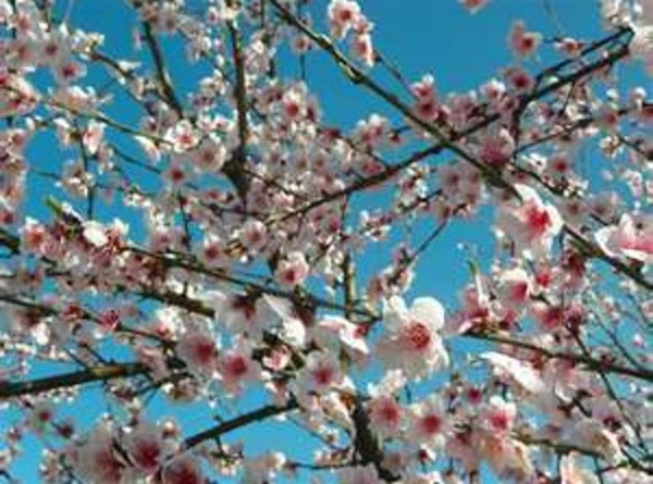 Apple Blossoms: Used internally for sore throats and colds, as a diuretic.