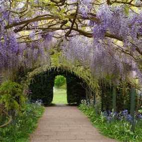 Hampton Court Castle Gardens by Diane Dunn - City,  Street & Park  City Parks ( wisteria, gardens, flowers, spring )