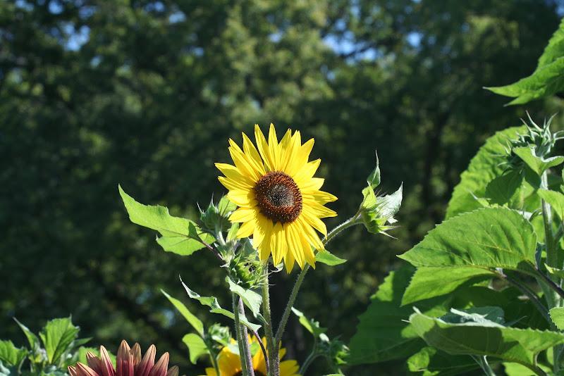 rebirth of sun(flower) di Aritex