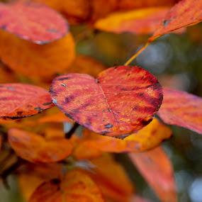 getting orange by Kris Van den Bossche - Nature Up Close Leaves & Grasses (  )