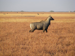 Photo: Late afternoon sun and nilgai