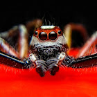 Telamonia Jumping Spider