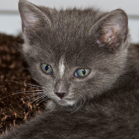 Ivan the Terrible by Rebecca Roy - Animals - Cats Kittens ( grey and white cat, grey cat, grey kitten, grey and white kitten, kitty,  )