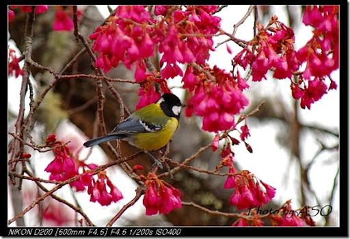 青背山雀(2008-03-08關原)0212