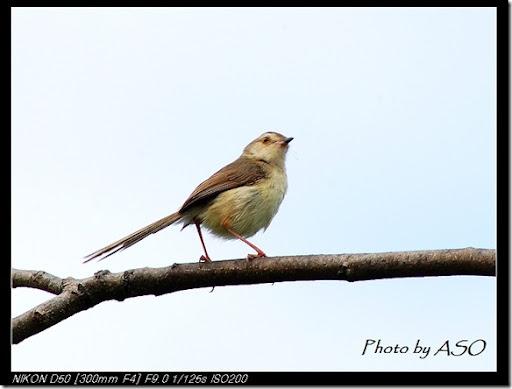褐頭鷦鶯(田埔2007-04-13)0008