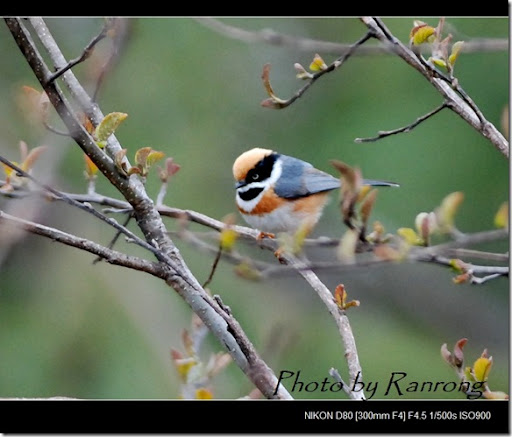 紅頭山雀(2008-03-08關原)0053