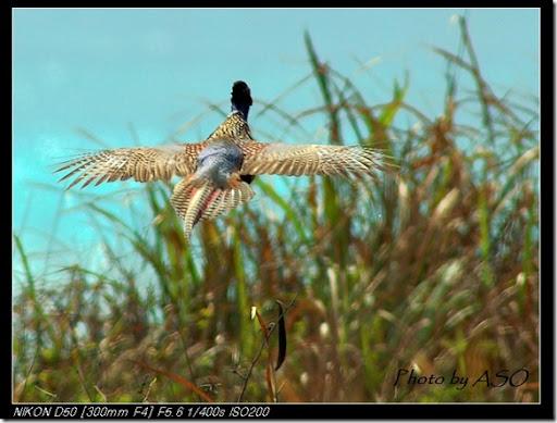 環頸雉(2007-02-06花蓮山)0065