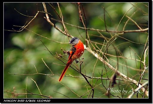 灰喉山椒鳥(2007-01-14壽豐林場)0075