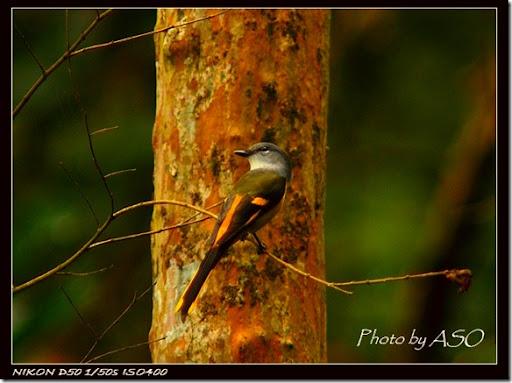 灰喉山椒鳥(2007-01-14壽豐林場)0082